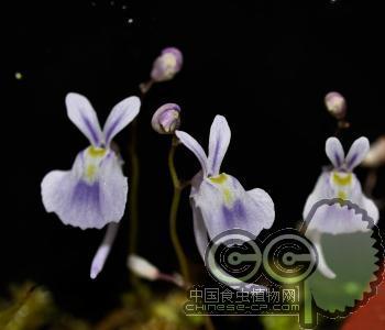 小白兔狸藻 U.sandersonii