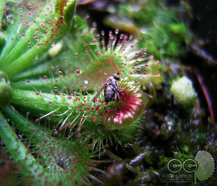 中国食虫植物网